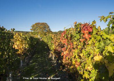 vignoble Saint Nicolas de Bourgueil | Couleurs d'automne du vignoble