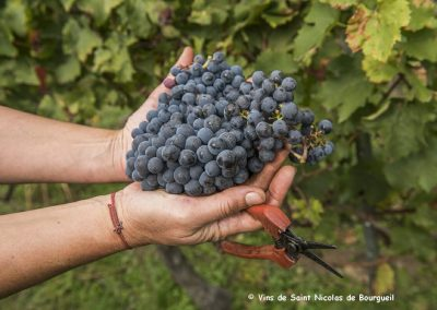 vignoble Saint Nicolas de Bourgueil | Grappe de Raisin Vendanges Manuelles 2016