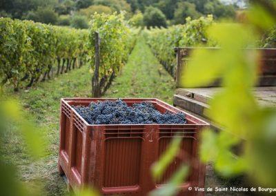 vignoble Saint Nicolas de Bourgueil | La cueillette