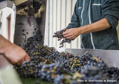 vignoble Saint Nicolas de Bourgueil |Tri Vendanges manuelles