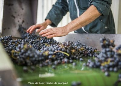 vignoble Saint Nicolas de Bourgueil | Tri manuel Vendanges