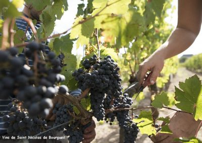 vignoble Saint Nicolas de Bourgueil |Vendanges à la main