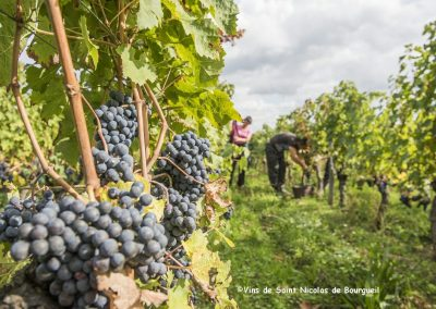 vignoble Saint Nicolas de Bourgueil | Vendanges Manuelles