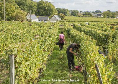vignoble Saint Nicolas de Bourgueil |Vendanges Manuelles Le Vau Renou