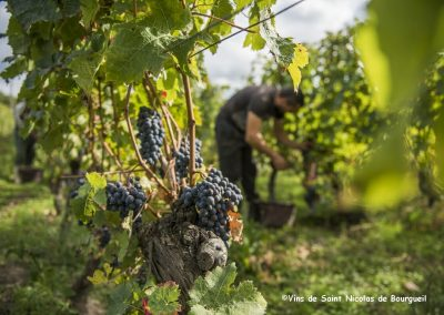 vignoble Saint Nicolas de Bourgueil | Vendanges