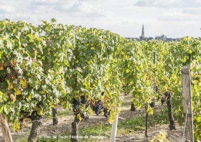 Saint Nicolas de Bourgueil vineyard | before harvest