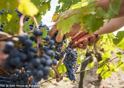 Saint Nicolas de Bourgueil vineyard | harvest