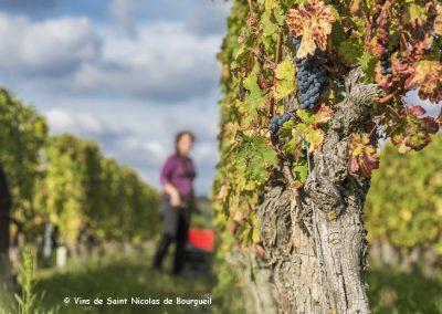 Vignobles de saint Nicolas-de-Bourgueil | Vendanges à la main