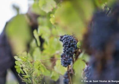 vignoble Saint Nicolas de Bourgueil | grappe de septembre