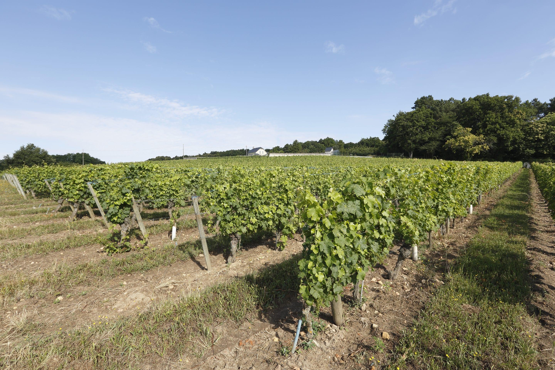 vignes en agriculture biologique de saint nicolas de bourgueil