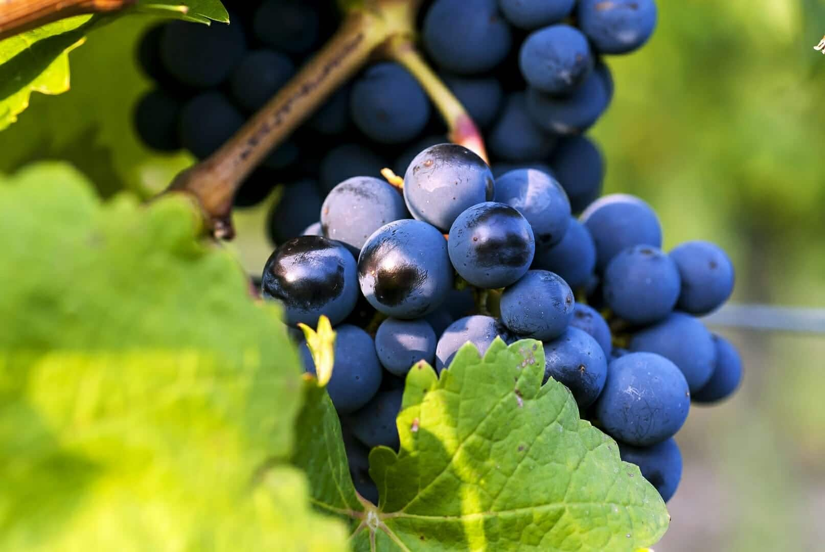 domaine des géléries raisin